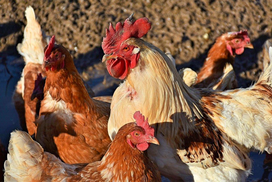 Bio-Eier von freilaufenden Legehennen